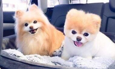 Boo o cachorro 'mais fofo do mundo' morre aos 12 anos